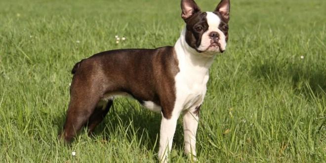 Boston Terrier: sveglio, affettuoso e un po'... testone!