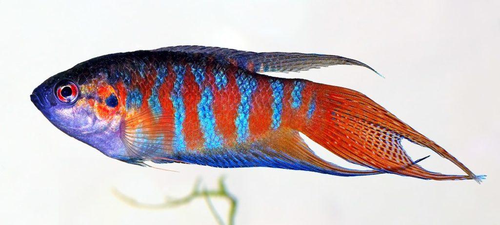 Pesce paradiso: una farfalla subacquea!