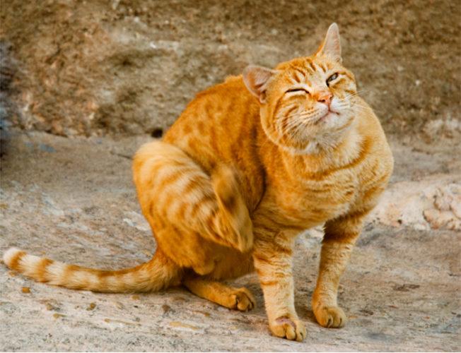 Gatti: quale terapia contro acari e funghi!