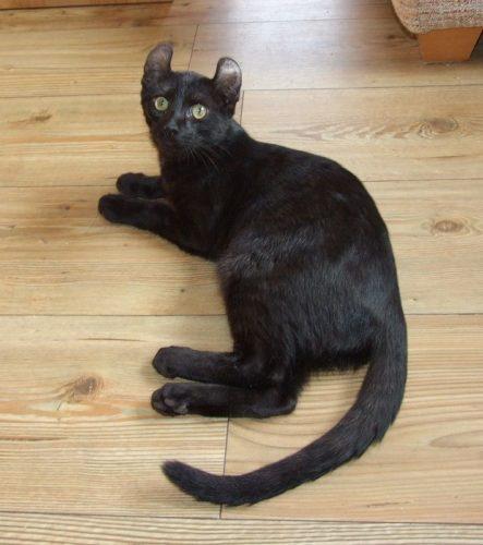 American Curl Nero: un gatto giocherellone...