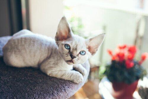 Devon Rex: un gatto extraterrestre!