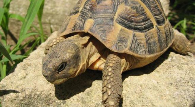 Le tartarughe di terra che vivono in casa devono andare in letargo?