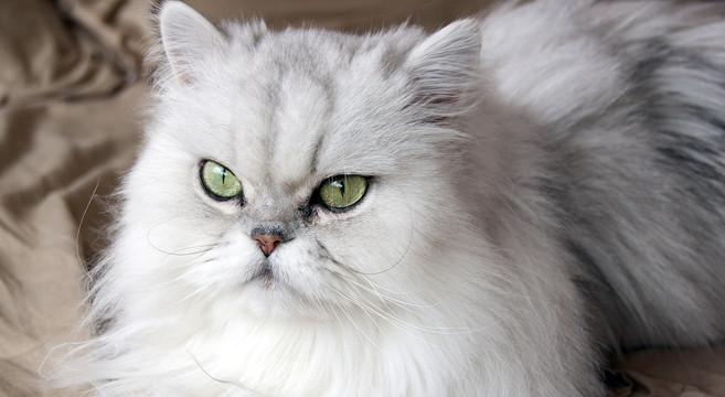 Le cure ad hoc per il gatto Persiano: risponde il veterinario!