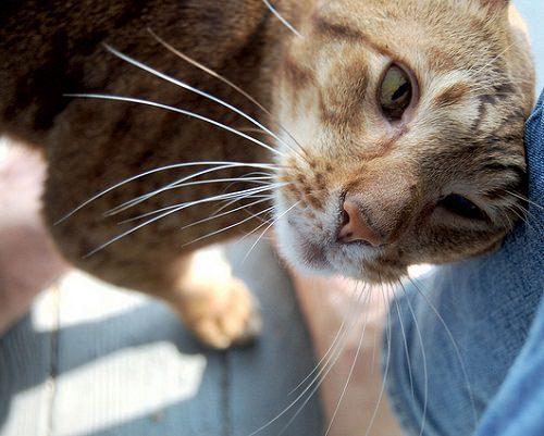 """Il mio micio di 16 mesi è molto affettuoso, ma spesso mi dà delle """"testate"""". Perché lo fa? L'altra gatta di circa tre anni che vive con me non si è mai comportata in questo modo."""