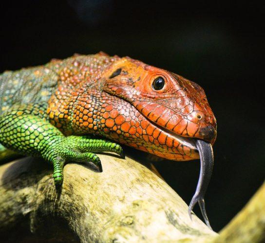 Perché molti rettili hanno la lingua biforcuta?