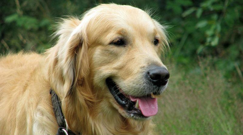 Golden Retriever: perfetto per la Pet Therapy!