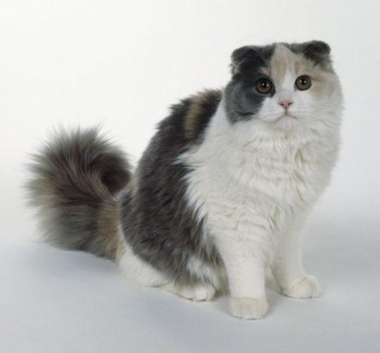 Allo scoperta del gatto Scottish Fold (Blu-Crema e Bianco)!