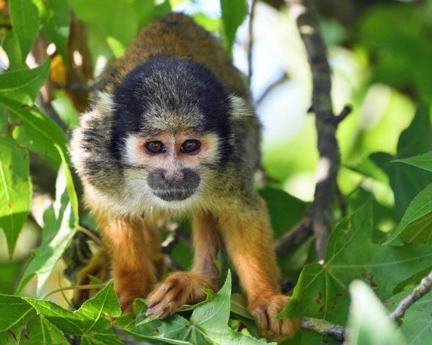 Florida: liberate 26 scimmie dalla sperimentazione (erano obbligate a fumare)!