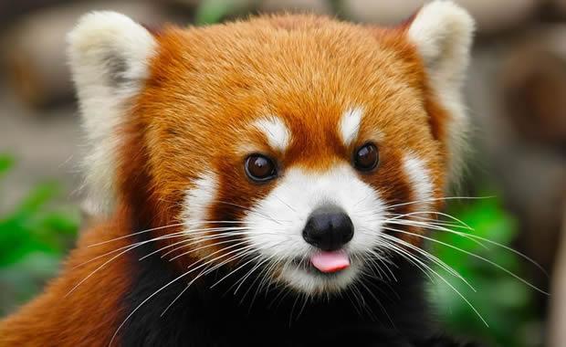 Alla scoperta del panda rosso!