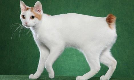 Alla scoperta del Bobtail Giapponese (gatto a pelo corto)...