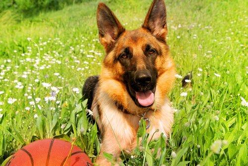 Pastore tedesco: uno dei cani più popolari al mondo!