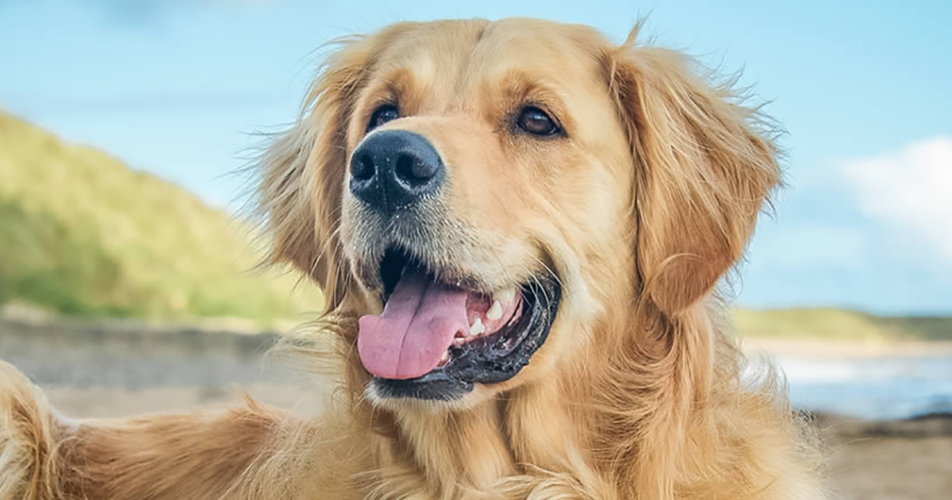 Golden Retriever: un cane dal cuore d'oro!