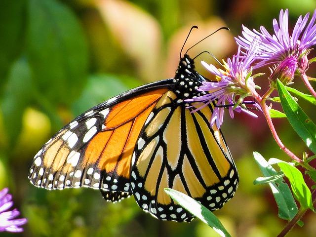 Farfalle: ma tu lo sai quanto vivono?