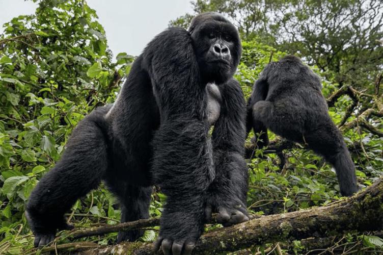 Nel Virunga National Park, i gorilla di montagna sono in aumento!