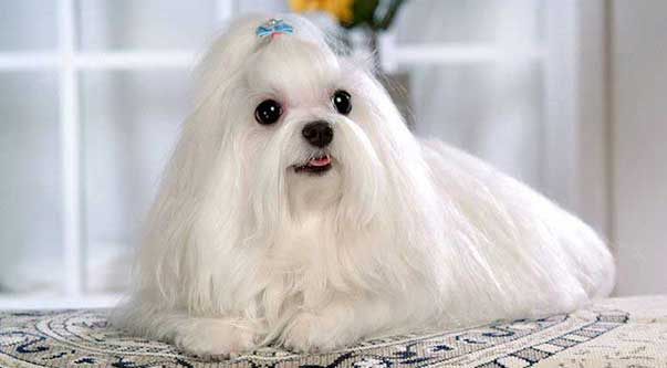 Maltese: cane vivace e intelligente!