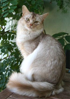 Alla scoperta del gatto Somalo (Sorrel Silver)!