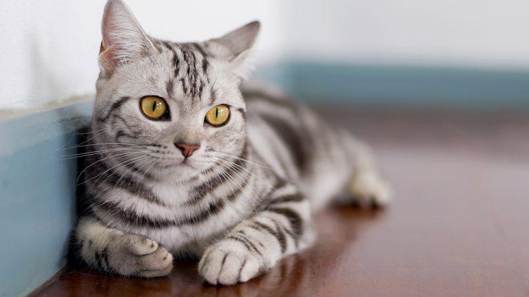 American Shorthair: uno dei più bei gatti a pelo corto che ci sia!
