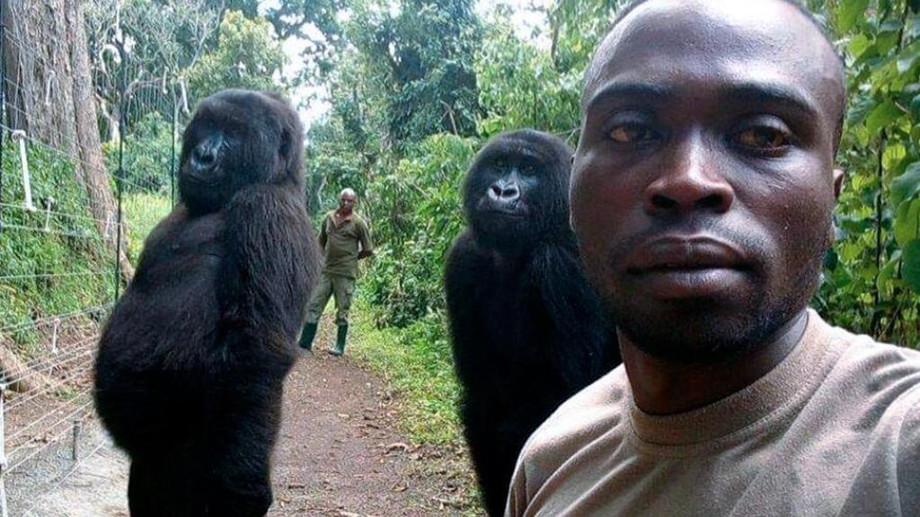 Fonte immagine: https://www.lastampa.it/2019/04/21/societa/due-gorilla-si-mettono-in-posa-per-un-selfie-con-la-guardia-antibracconaggio-la-foto-virale-rKZIrsik5ygN7DWJ7HaHRM/pagina.html