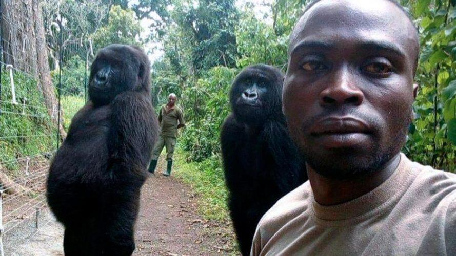 Gorilla in posa per il selfie...