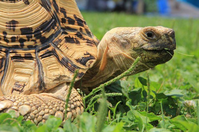 Tartarughe di terra: occhio al commercio illegale!