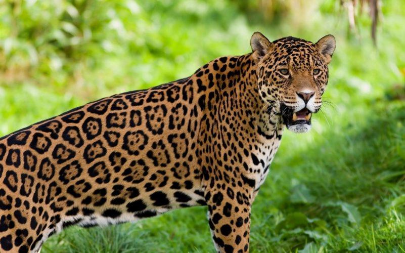 Alla scoperta del giaguaro del Sud America!