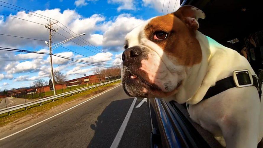 Agli italiani piace guidare con il cane!