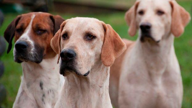 Cani da caccia: hanno bisogno di padroni che li aiutino a sfogare l'energia che hanno!