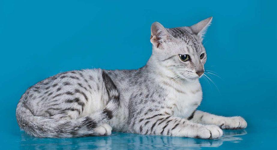 Alla scoperta del gatto Egyptian Mau (Silver)...
