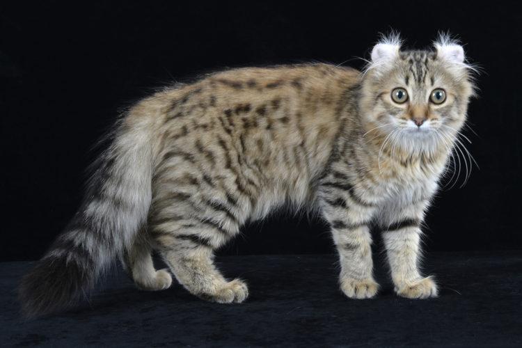 American Curl: il gatto ideale per la famiglia!