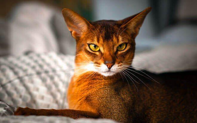 L'Abissino, un gatto di antiche origini...