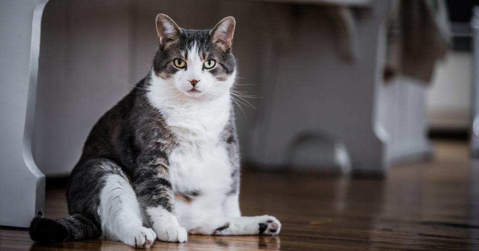 Il tuo gatto comincia ad invecchiare? Occhio al peso in eccesso!