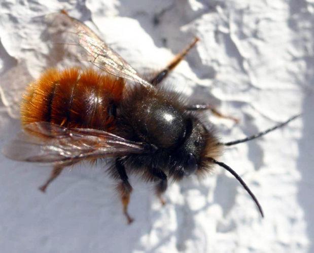 Osmie: un insetto impollinatore simile alle api!