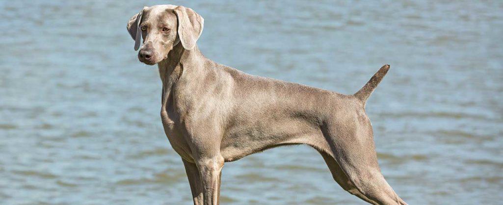 Weimaraner: solo cane da ferma?