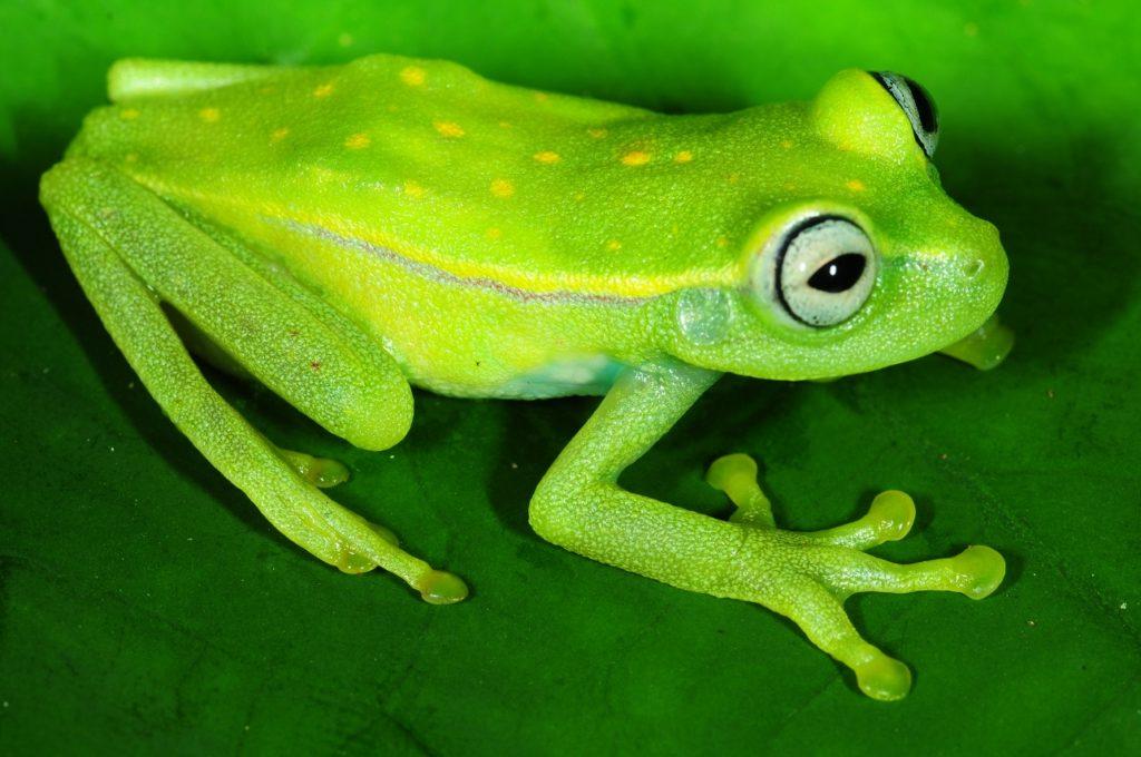 Alla scoperta della rana fluorescente dell'America del Sud!