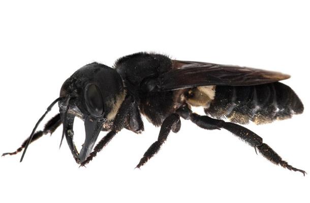 L'ape gigante esiste (ancora)...
