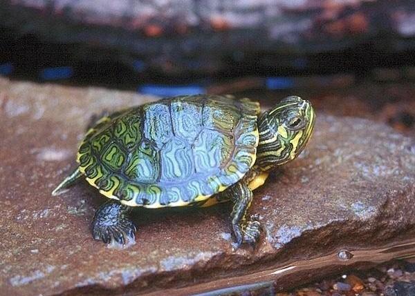 Tartaruga: cosa mangia di buono...
