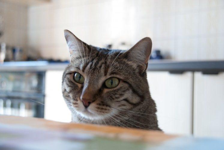 Biscotti fatti in casa per gatti al tonno...