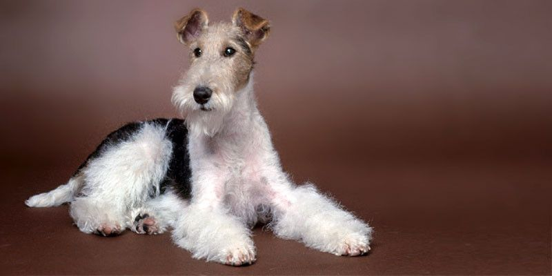 Fox Terrier: due cani in uno!