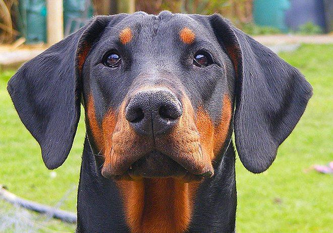 Dobermann: un cane elegante e da guardia!