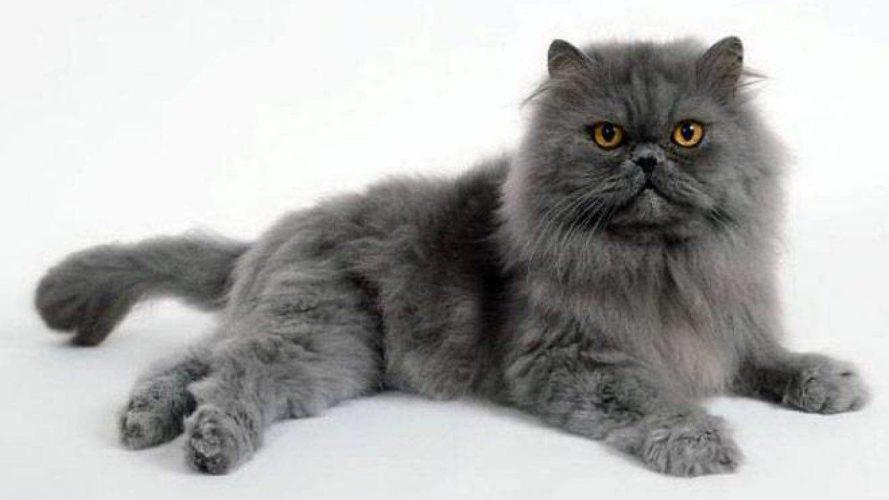 Alla scoperta del gatto Persiano Blu!