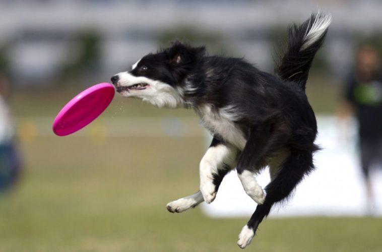 Disc Dog: come iniziare con il tuo cane!