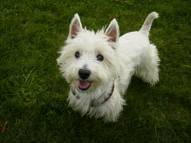 West Highland White Terrier: l'allegria formato 4 zampe!