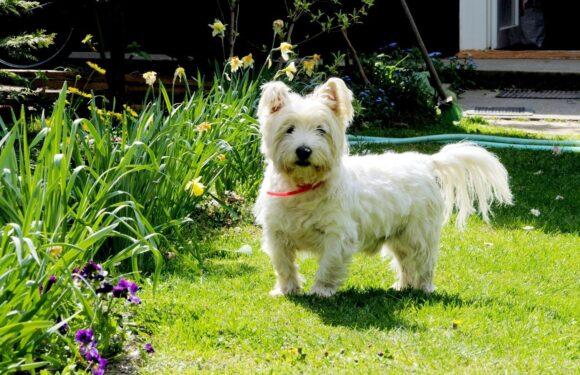 West Highland White Terrier: l'allegria formato 4 zampe!