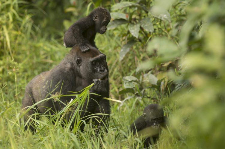 Gorilla: Inguka e Inganda compiono 3 anni!