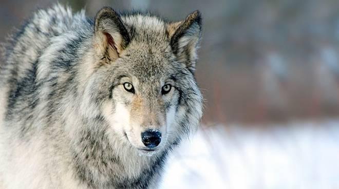 """Mamma che fame da """"lupo""""!"""