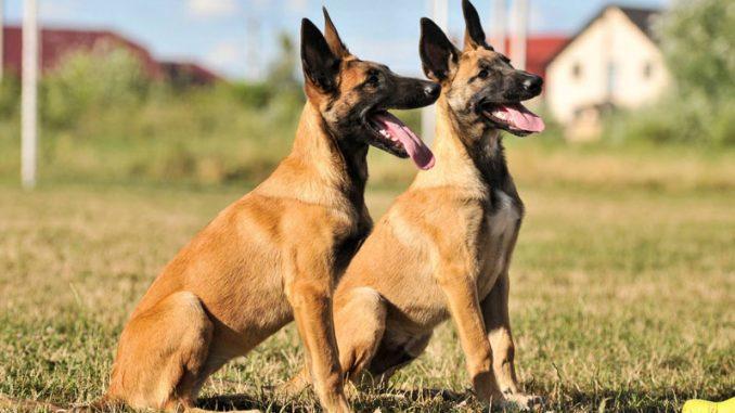 Pastore Belga: un cane in 4 varianti!