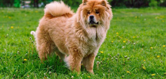 Chow Chow: il cane che assomiglia a un leone!