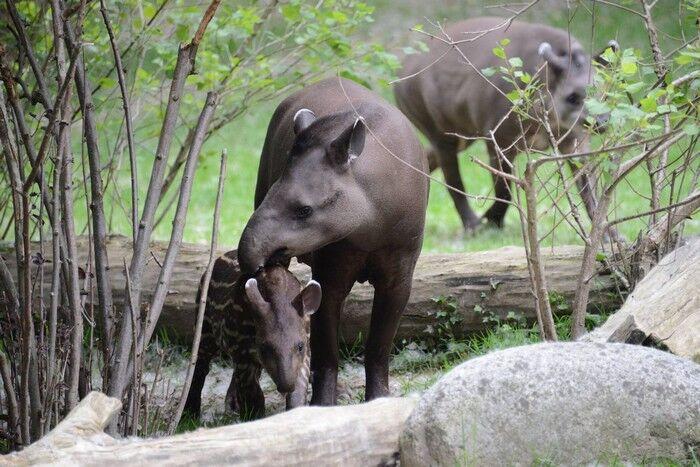 Le feci del tapiro in soccorso della foresta amazzonica…