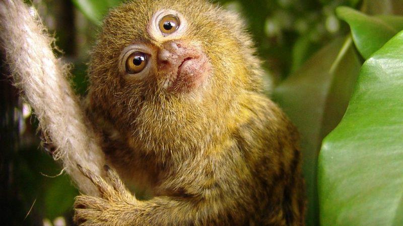 """La scimmietta """"tascabile"""" (Cebuella pygmaea)!"""