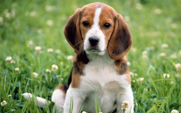 Beagle: un grande compagno di giochi!
